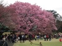 新宿御苑の桜は種類が多く見ごろの時期が長い!授乳室やおむつ交換も!