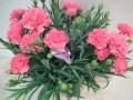カーネーション鉢の育て方 花を咲かす真逆のテク!切戻しや植替はいつ!