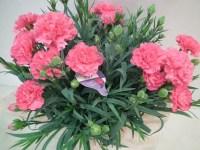 カーネーションの育て方  鉢植えの花を咲かす新常識のポイントとは!