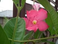 ベランダのガーデニングで初心者にも育てやすい夏の花ベスト3は!