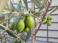オリーブの肥料でおすすめは!ベランダでの効果を画像で公開