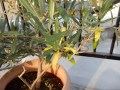 オリーブの葉が黄色く枯れるのは!実がしわしわの原因は!実例を公開