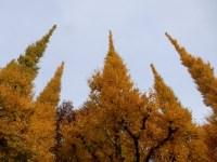 神宮外苑の銀杏並木の紅葉2019の見頃とアクセス 「君の名は」のシーンは!