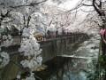 目黒川の桜の見頃とライトアップ期間2019!撮影スポットおすすめと穴場