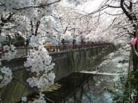 目黒川の桜の見頃とライトアップ期間2017!撮影スポットおすすめと穴場