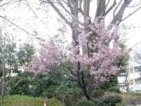 六本木ヒルズの毛利庭園とさくら坂の桜の見頃とライトアップ期間は