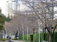 東京ミッドタウンの桜の開花状況と見頃 ライトアップと桜の種類は!