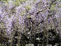 小石川後楽園の藤の花 見頃と現在の開花状況は!一緒に見られる花は