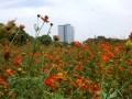 浜離宮のコスモス、画像でみる開花状況と見頃!その隣に恐ろしいトゲが!