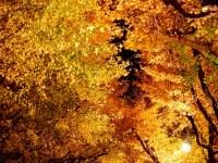 神宮外苑の銀杏並木のライトアップと紅葉と行き方で一番近いのは!