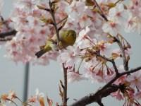 銀座の桜のお花見に穴場の新スポットが登場!見頃とライトアップは