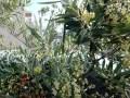 オリーブの根を食い尽くすコガネムシの幼虫対策は100円グッズで!