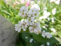 銀座4丁目の奇跡!そばの花が銀座通りで開花!その驚きの理由は