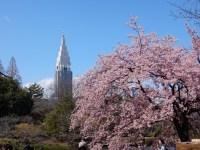 新宿御苑の桜の開花状況2019の現在と見頃は!開花時期が長い理由!
