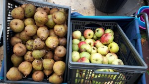 Pear and apple haul