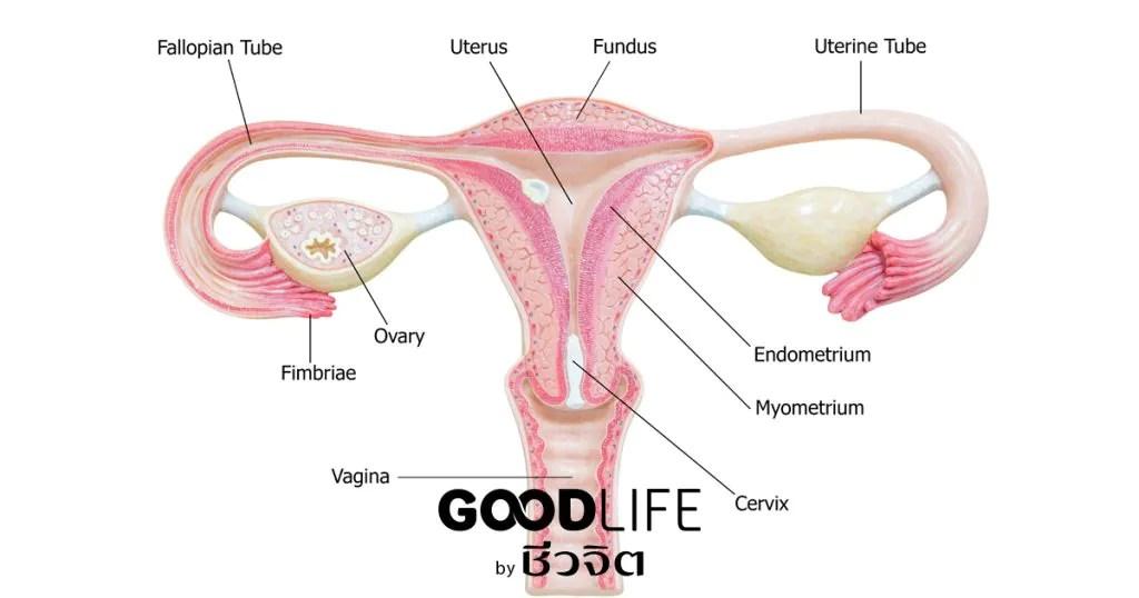 รังไข่, ฮอร์โมนเพศหญิง, ฮอร์โมนเพศชายสูง, ถุงน้ำในรังไข่หลายใบ, มดลูก