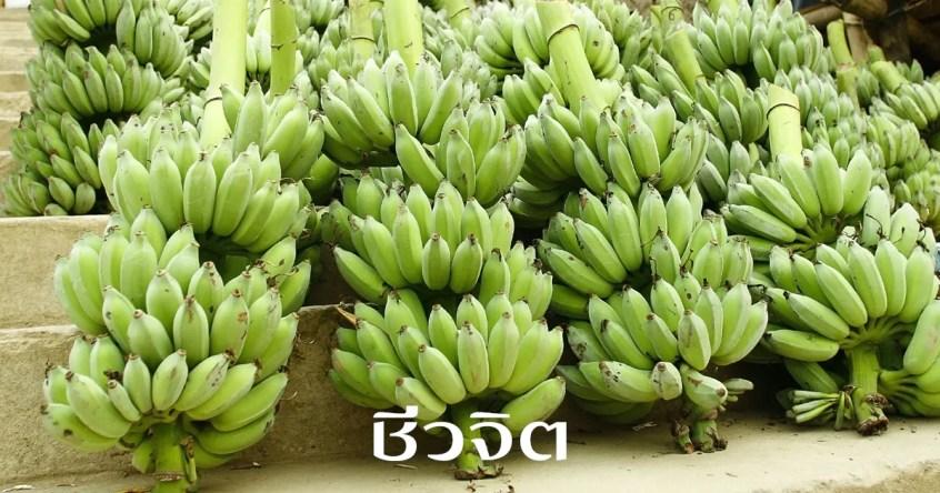 กล้วยดิบ, รักษาแผลในกระเพาะอาหาร, โรคกระเพาะอาหาร, กล้วย, กล้วยน้ำว้าดิบ