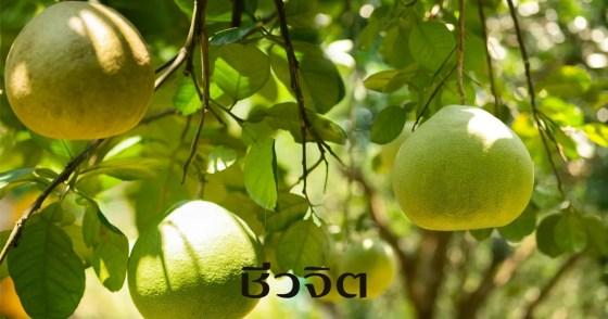 ส้มโอออร์แกนิค, ชัยยุทธฟาร์ม