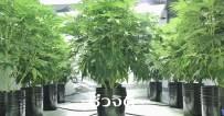 ต้นกัญชา, กัญชา, สมุนไพร, ยาไทยผสมกัญชา, ลักษณะของต้นกัญชา
