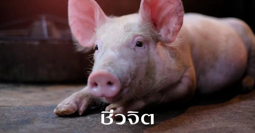 เนื้อหมู, เนื้อวัว, เนื้อดิบ, พยาธิตืดหมู, พยาธิตืดวัว, ไข้หูดับ