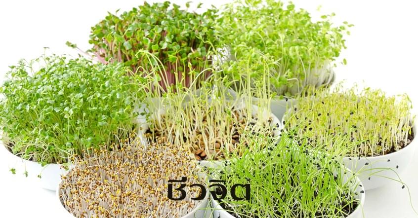microgreen, ไมโครกรีน, ต้นอ่อน, ผักต้นอ่อนสีเขียว , ต้นอ่อนพืช