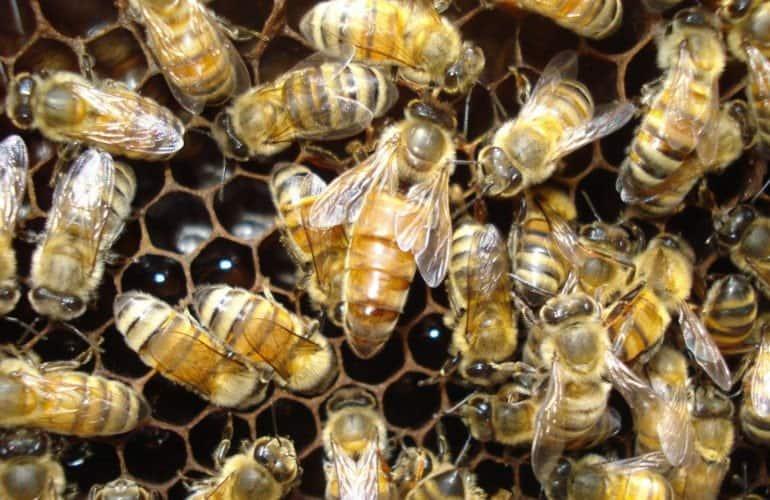 ratu lebah bersama lebah pekerja pada sarang lebah madu
