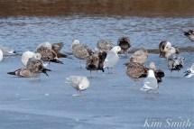 Iceland Gull Eastern Point Gloucester MA copyright Kim Smith