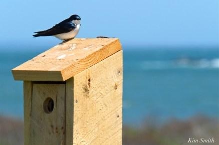 Tree Swallows -2 copyright Kim Smith