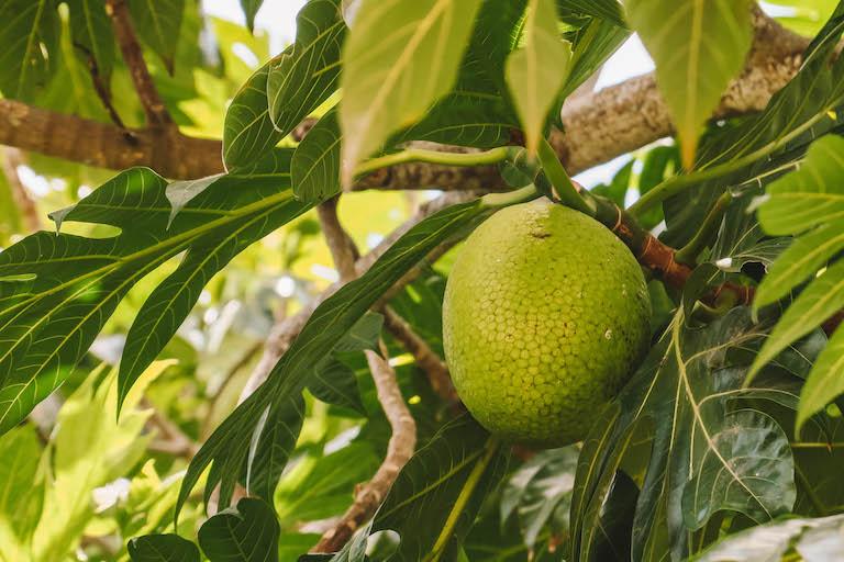 Caribische keuken broodvruchten boom