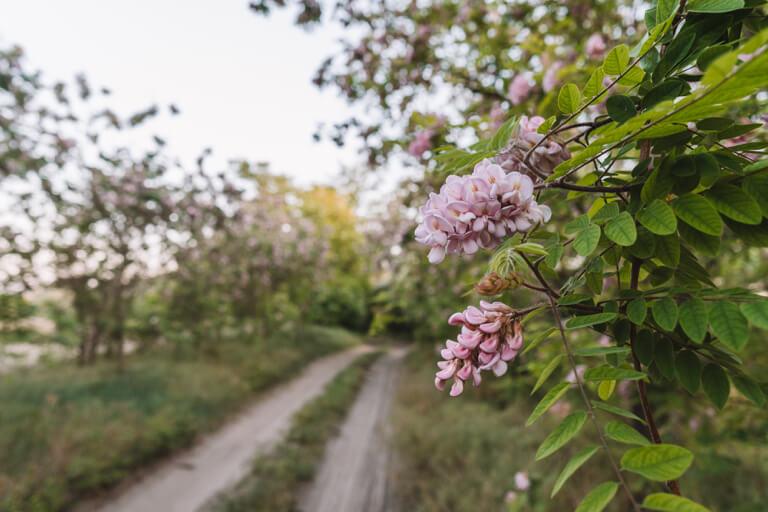 Robinia vals acacia roze