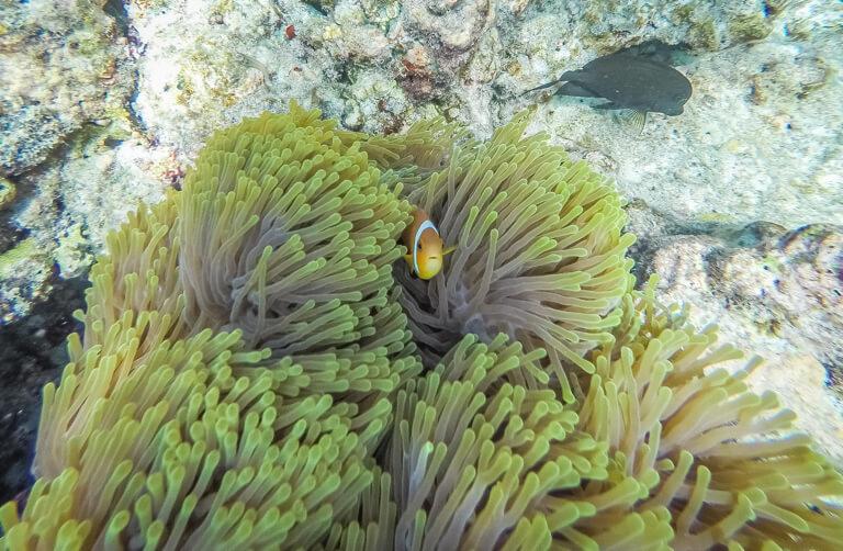 Snorkelende clownvis