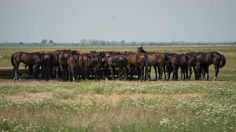 Hongarije Puszta Hortobagyi National Park Nonius paarden