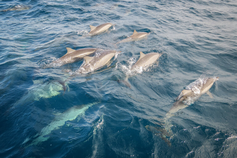Wilde dolfijnen Maldiven eilanden