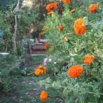 a soup the colour of marigolds & a little friend