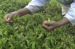 Farmers-Harvesting-Green-Tea.1