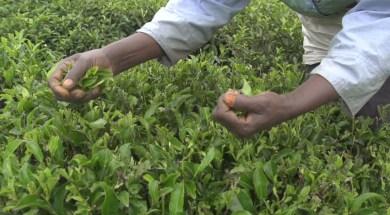 Farmers-Harvesting-Green-Tea.1