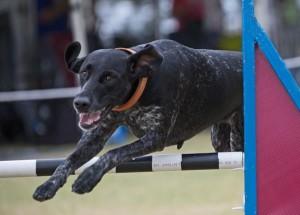 Fun Agility. Pic Le Hammer www.caninefunsports.com.au