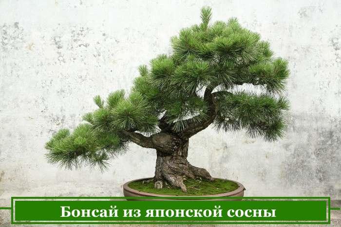জাপানি পাইন বীজ থেকে bonsai ক্রমবর্ধমান