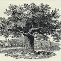 Bewick Oak