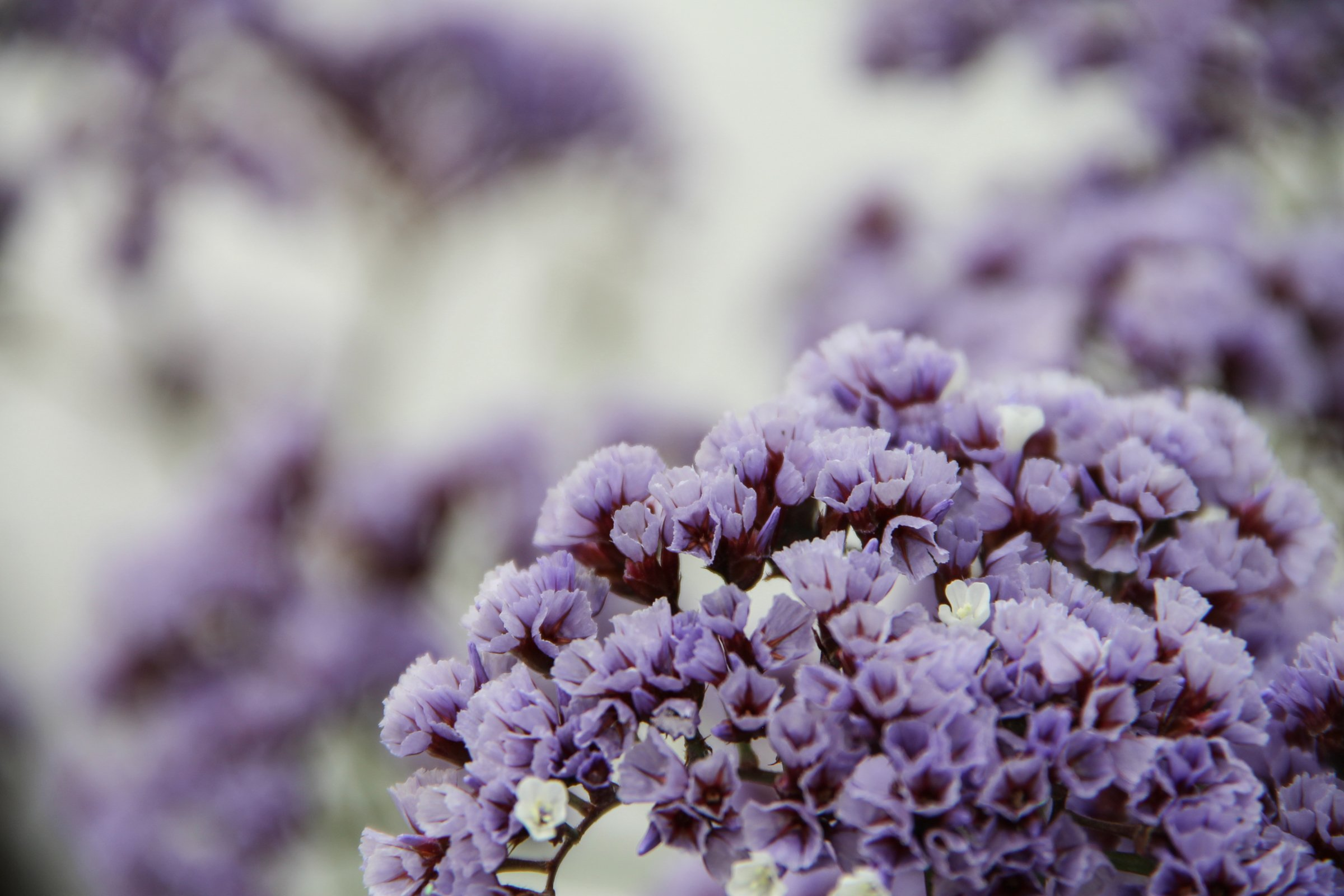 Winter Flowers Purple-white-statice-flowers