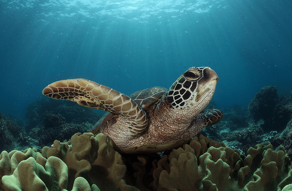 Sea turtle 'pawikan' off the shores of Apo Island. Source: Wikimedia / Jun V Lao