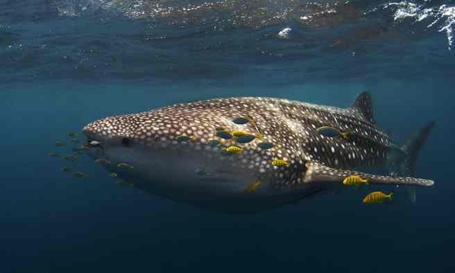 Whale shark tourism. Whale shark Ningaloo ecotourism Western Australia. Source: ECOCEAN