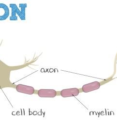 what is a neuron parts of a neuron neuron diagram parts of a [ 2029 x 936 Pixel ]