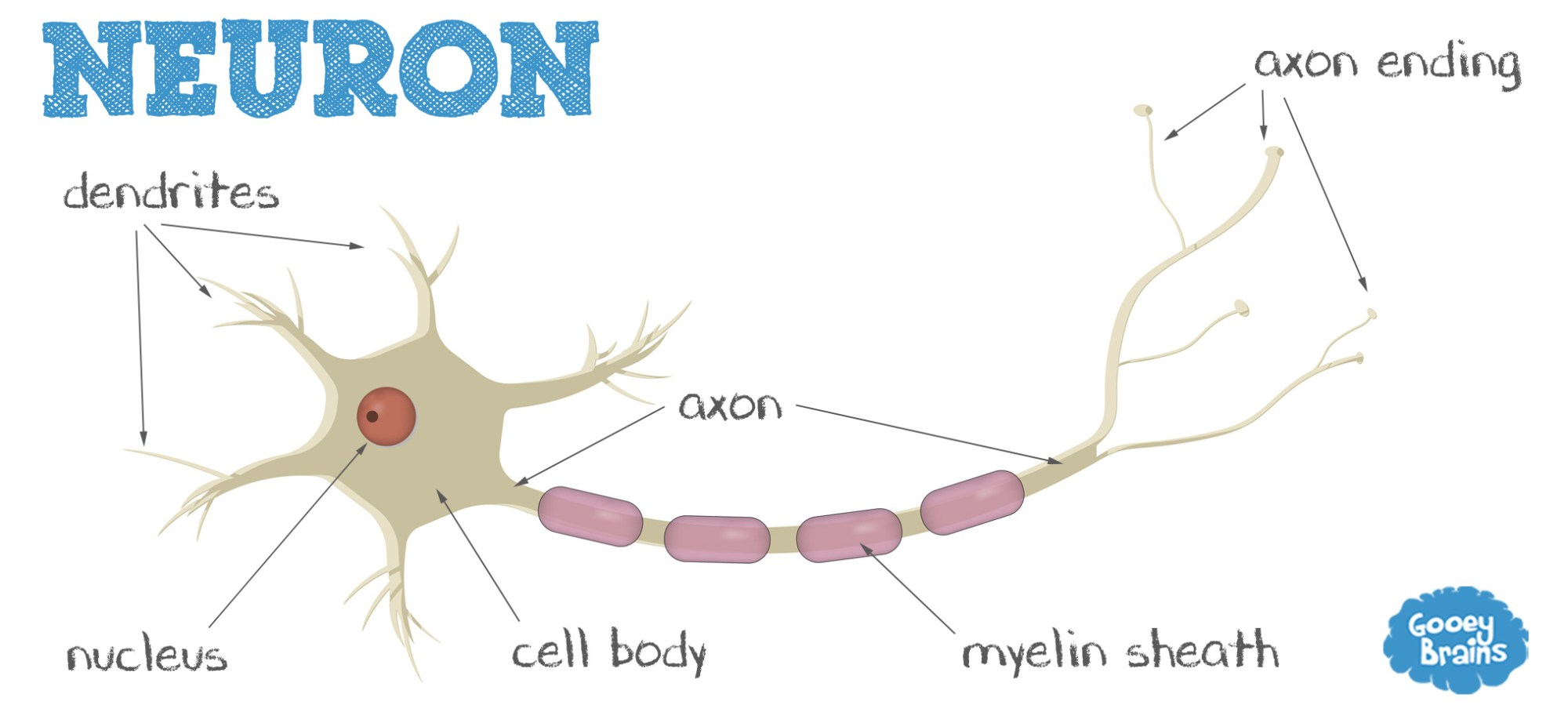 hight resolution of what is a neuron parts of a neuron neuron diagram parts of a