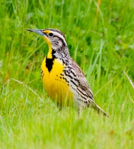 A Western Meadowlark singing in the grass