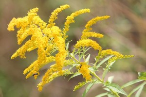 A beautiful goldenrod caught in the breeze