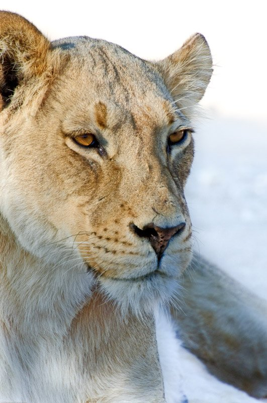 Lioness Wildlife Photography