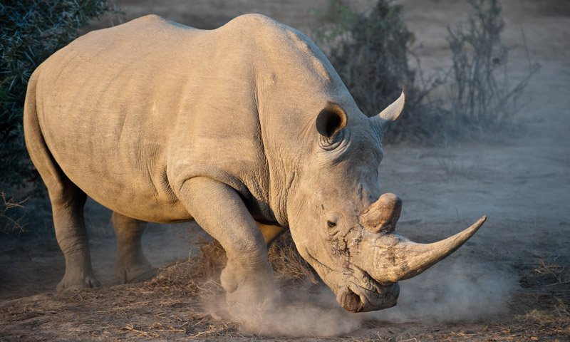 White Rhino Not Happy Wildlife Photography