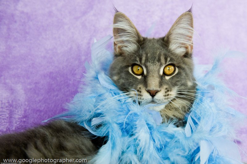 Indigo Dressed Up Maine Coon Cat Pet Photography