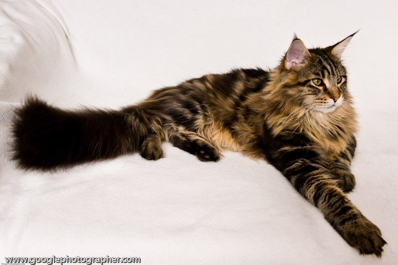 Coco Stretched Out Maine Coon Cat Pet Photography